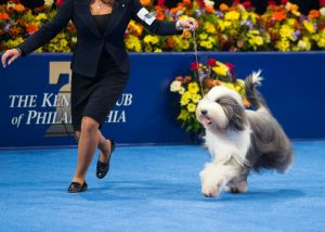Photo of the 2014 Best in Show courtesy of National Dog Show